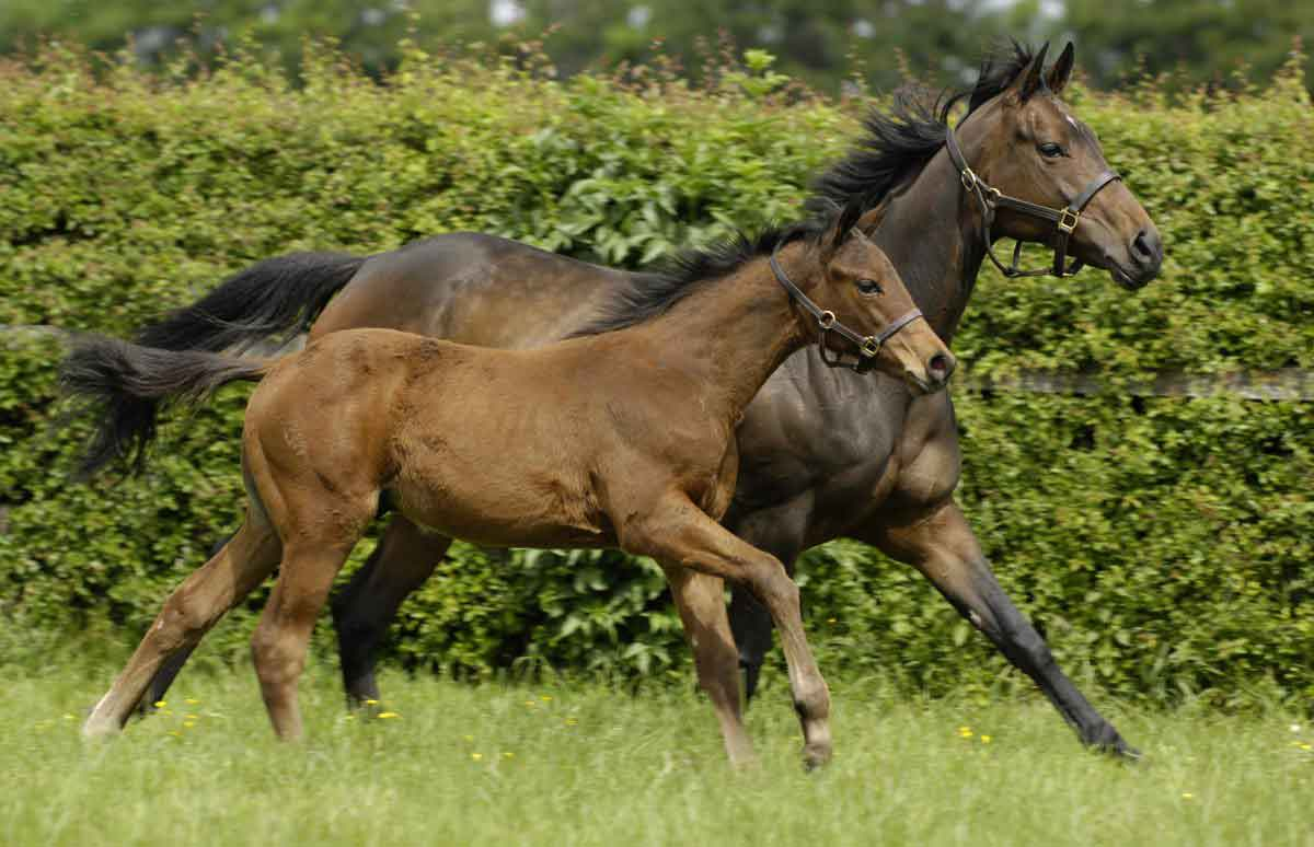 Care of the maiden mare for breeding after racing